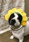 Bull Terrier Dog: Pebbles