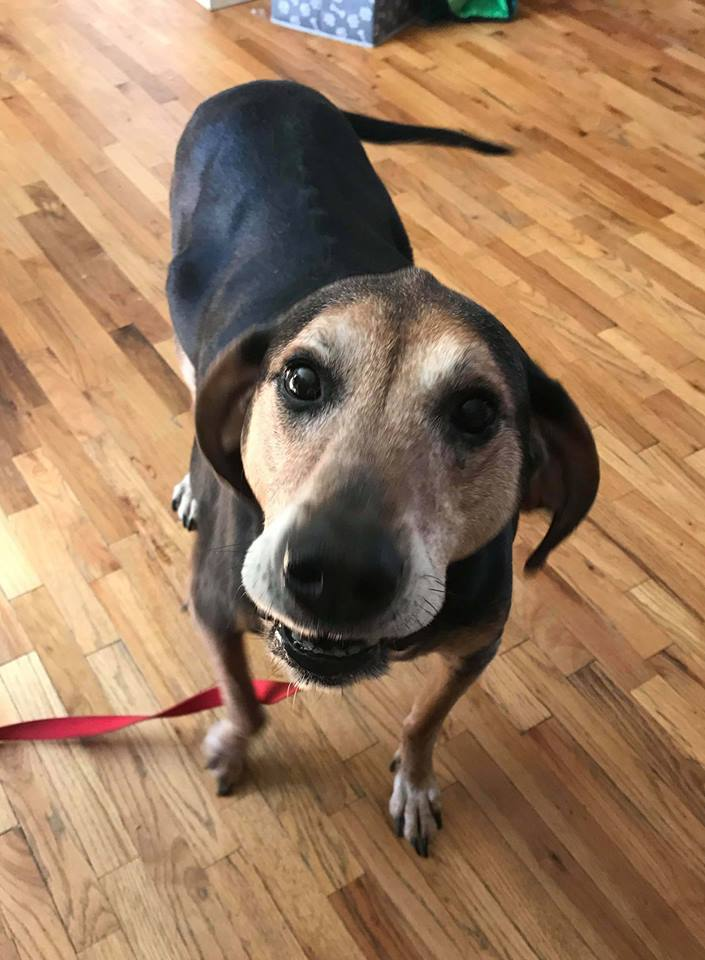 Bear (& Brutus), an adoptable Hound in Kennewick, WA