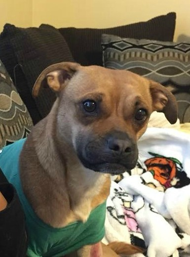 Roxie, an adopted Chihuahua & Pug Mix in Northville, MI