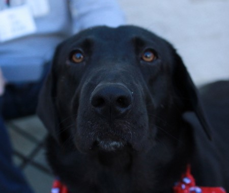 Roxie, an adopted Labrador Retriever & Black Labrador Retriever Mix in Atlanta, GA