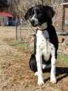 Pointer Dog: Beautiful BOSCO (good natured, playful, curious)