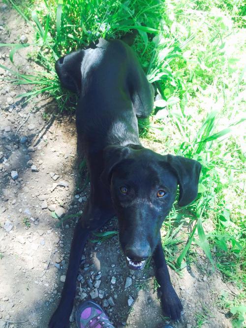 Dog For Adoption Maggie A Black Labrador Retriever German