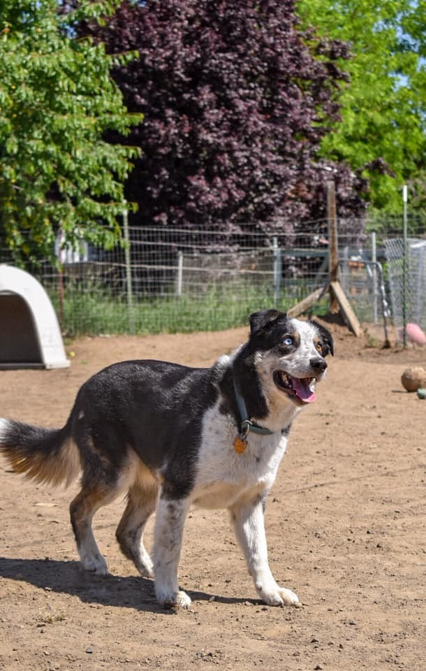 Drifter, an adoptable Border Collie & Australian Shepherd Mix in Union Gap, WA