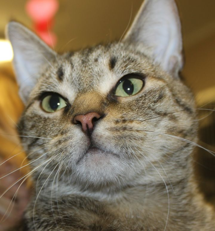 BELLA, an adopted Domestic Short Hair in Sewell, NJ