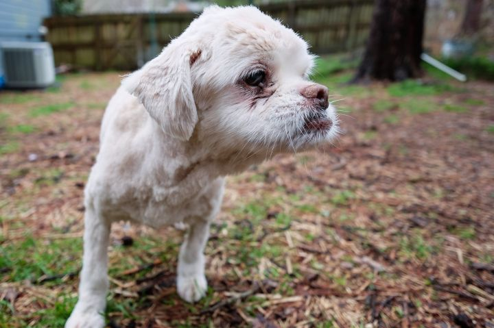 William      Rest in Peace, an adopted Pekingese & Poodle Mix in Woodstock, GA