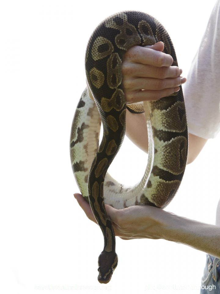 Snake for adoption - Ball Pythons, a Ball Python in Middle Island