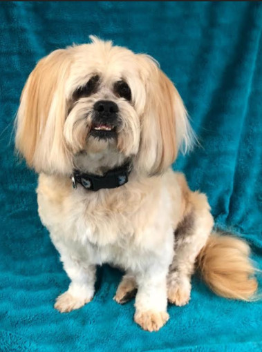 Captain, an adopted Shih Tzu Mix in Calgary, AB