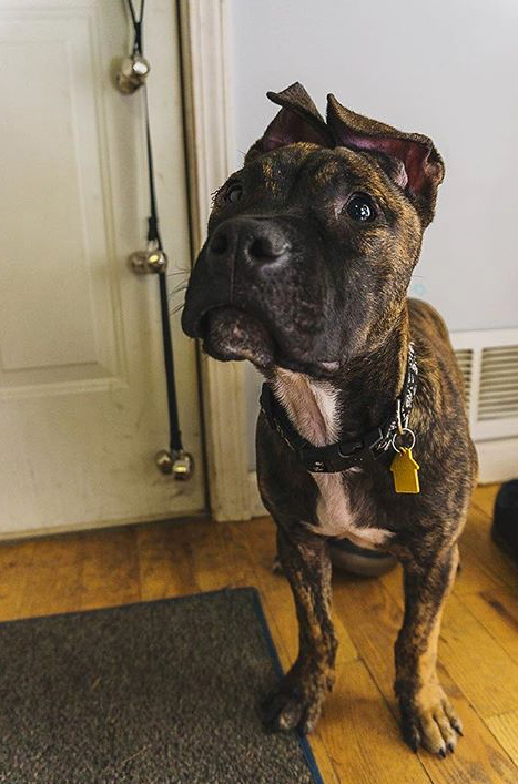 Xerxes, an adopted American Staffordshire Terrier & Pit Bull Terrier Mix in Saint Paul, MN