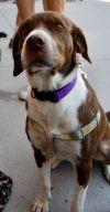Labrador Retriever Dog: Athena