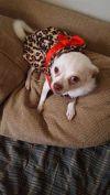 Chihuahua Dog: Nickie 3
