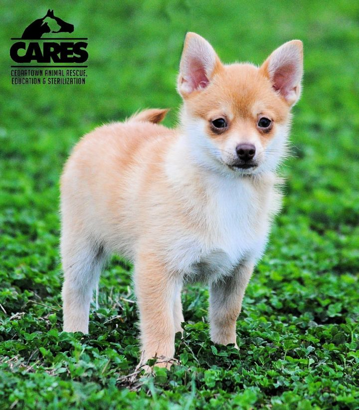 Peanut, an adopted Pomeranian & Chihuahua Mix in Cedartown, GA