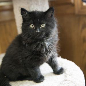 3 Black Kittens