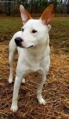 American Eskimo Dog Dog: Lucy