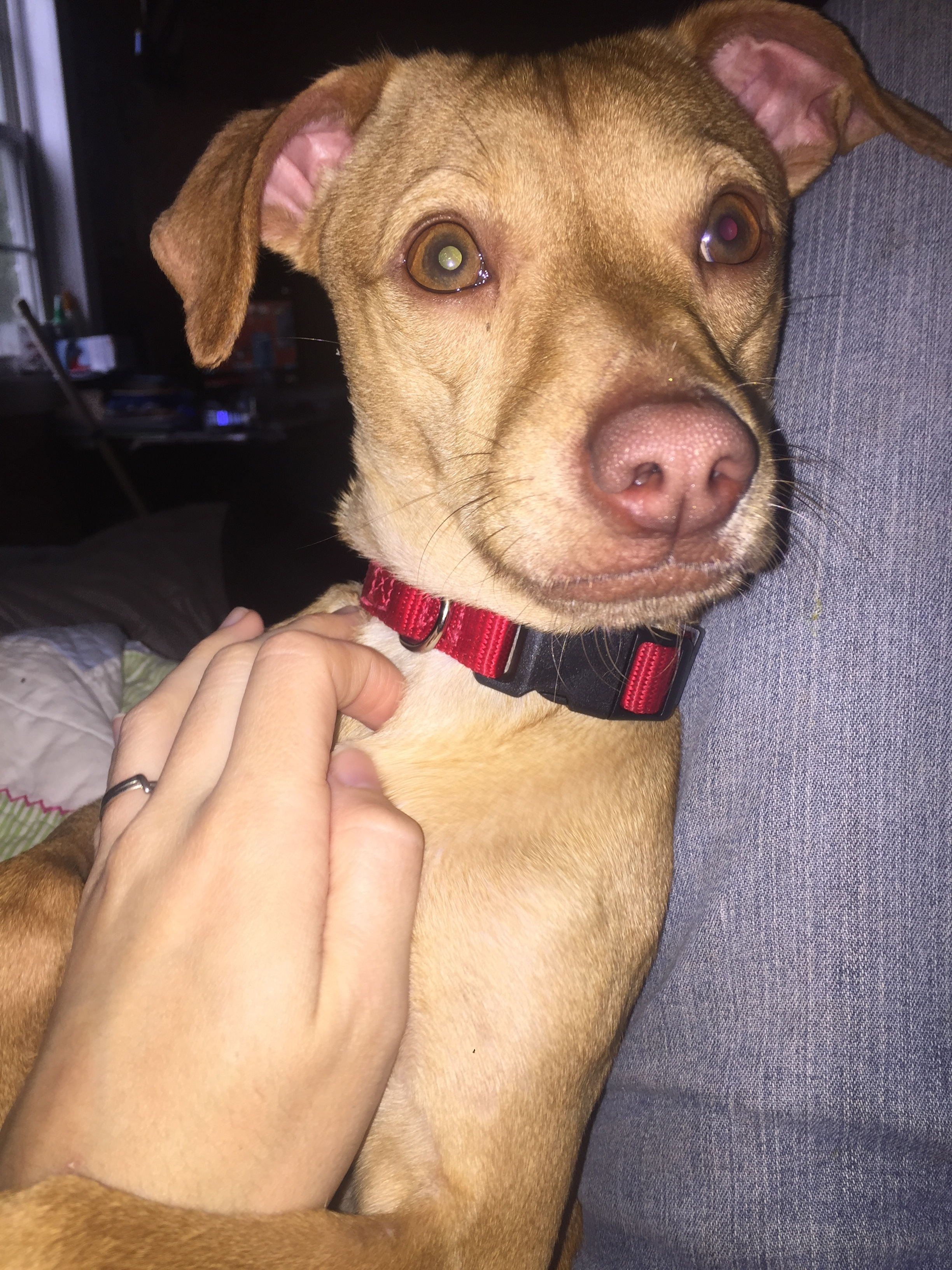 Felsebiyat Dergisi – Popular Chihuahua Puppies For Sale In