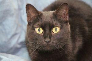 Mona American Shorthair Cat