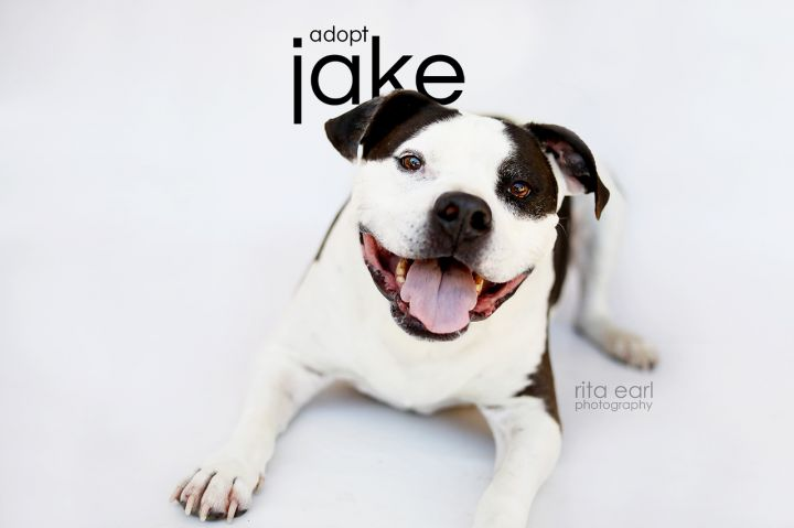 Jake, an adoptable American Staffordshire Terrier & American Bulldog Mix in Agua Dulce, CA