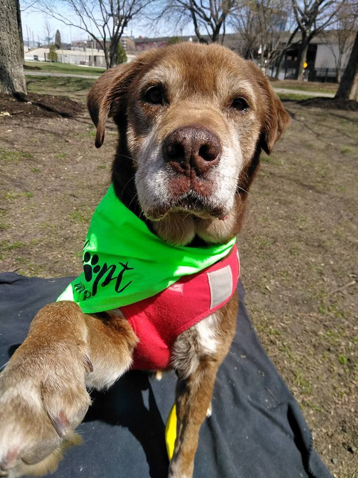 Bear Grylls - my adoption fee is sponsored!, an adopted Labrador Retriever in Chicago, IL