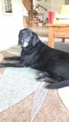 Labrador Retriever Dog: Sheba