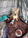 Norwich Terrier Dog: Joseph