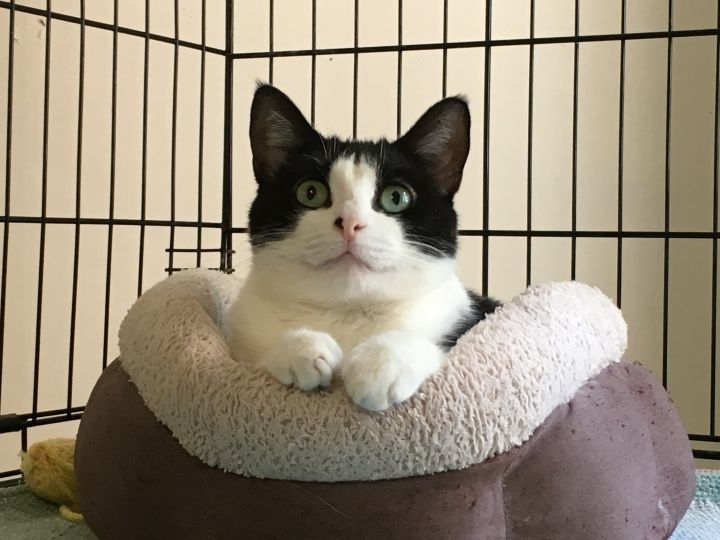 Bailey, an adoptable Domestic Short Hair in Danbury, CT