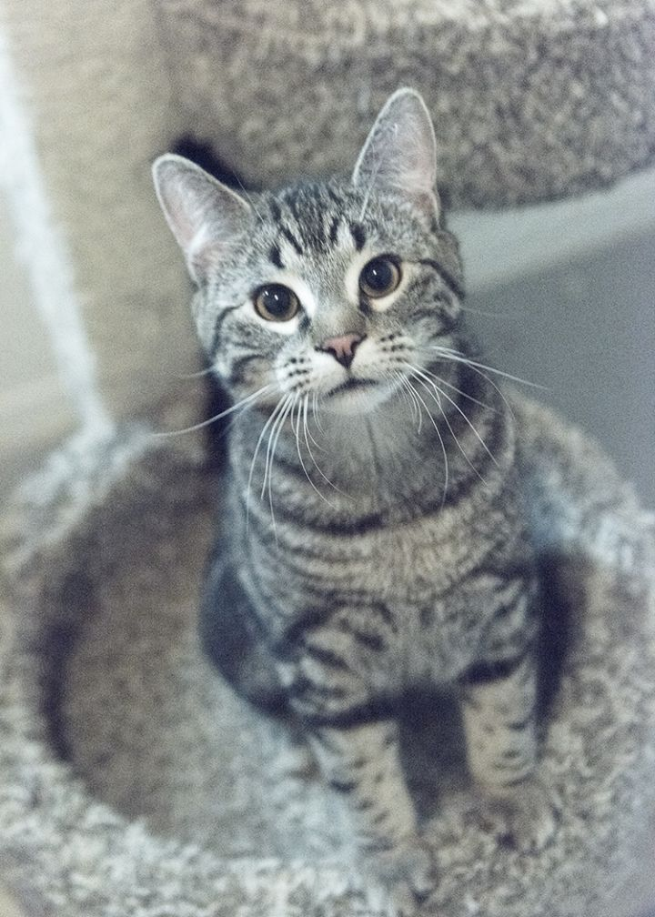 Stripe, an adopted Domestic Short Hair Mix in Fort Smith, NT