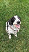 English Springer Spaniel Dog: Lola (special needs, so adorable)