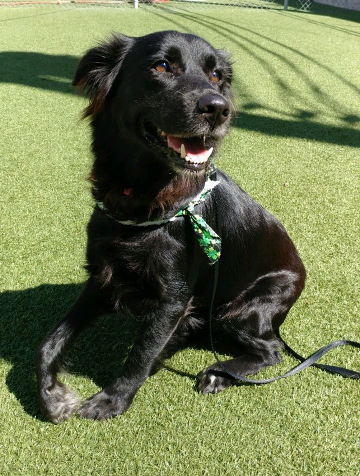 Suzie (tripod), an adopted Golden Retriever & Labrador Retriever Mix in Houston, TX