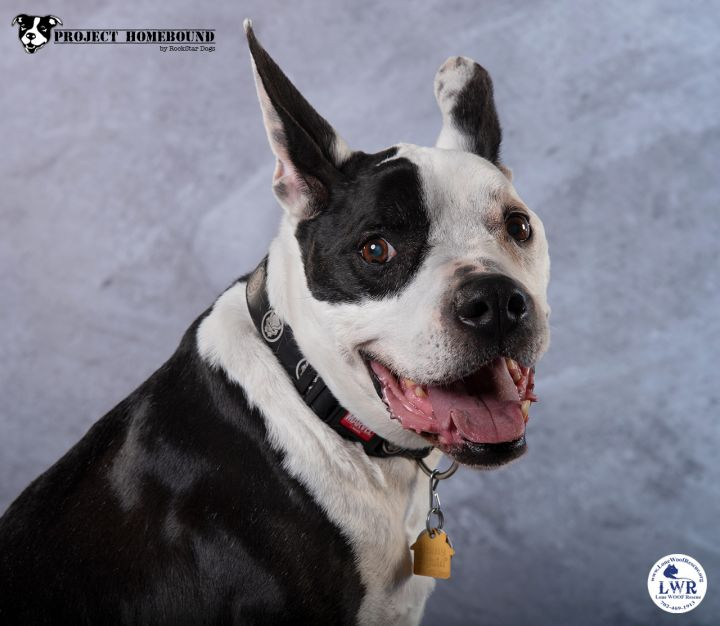 Paulie, an adopted Pit Bull Terrier & Boston Terrier Mix in Jean, NV