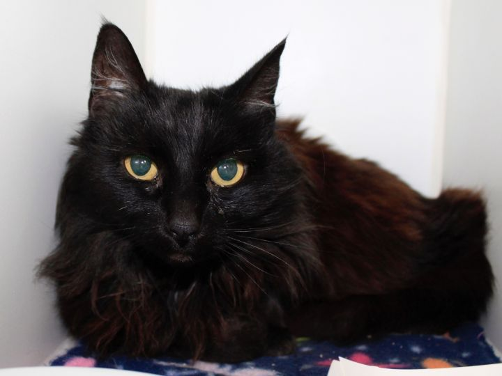 Dahlia, an adoptable Domestic Medium Hair in Grass Valley, CA