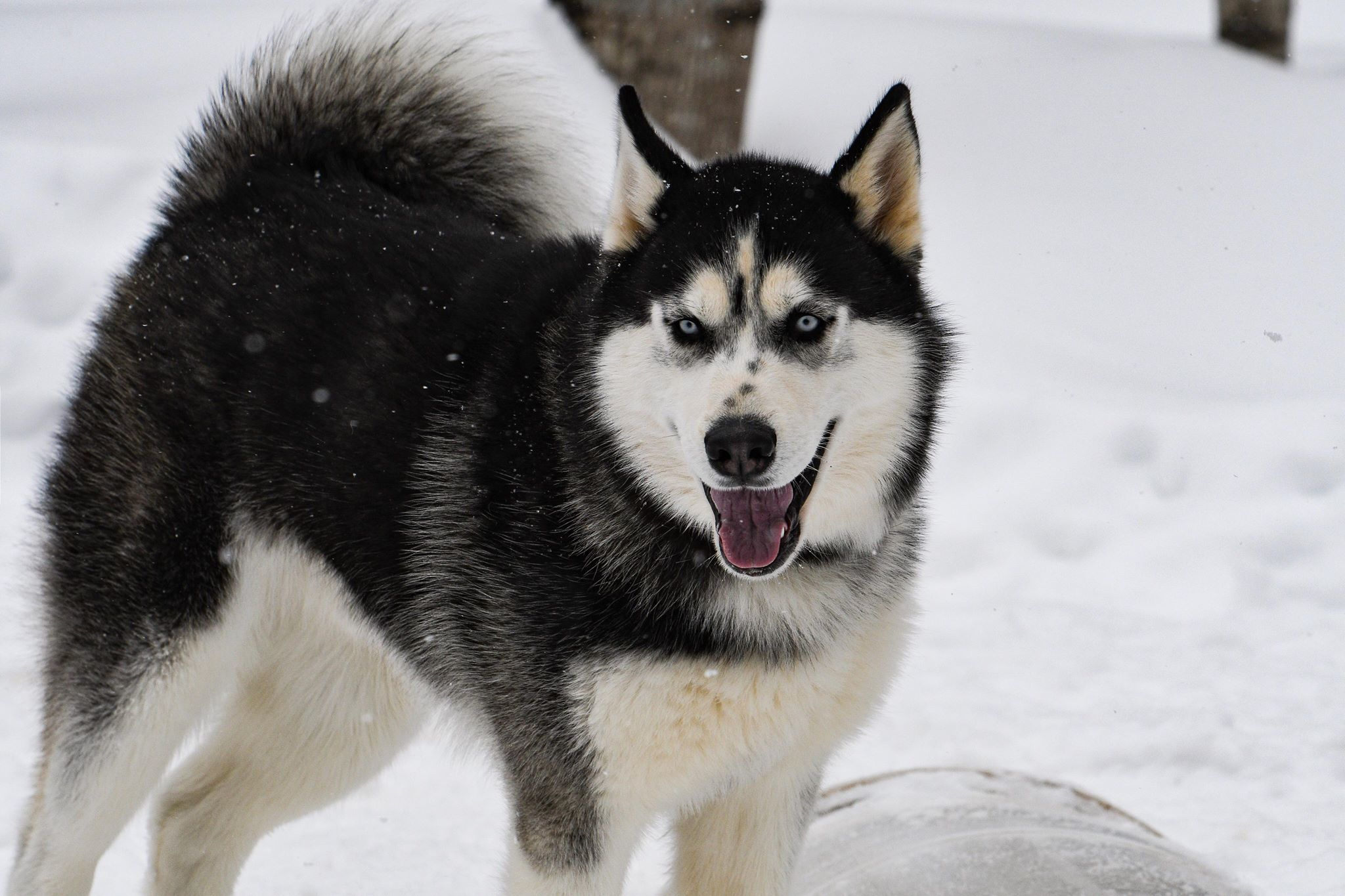 Dog for Adoption – Apache, near Shingleton, MI | Petfinder | Siberian Husky Puppies Adoption Michigan