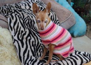 Helen Chihuahua Dog