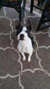 Boston Terrier Dog: Meadow