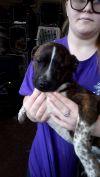 Boston Terrier Dog: AJ