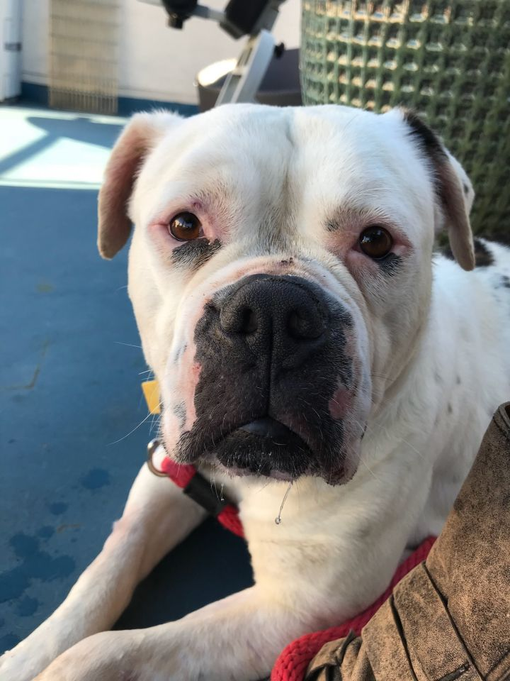 Sadie, an adopted American Bulldog Mix in Beverly Hills, CA