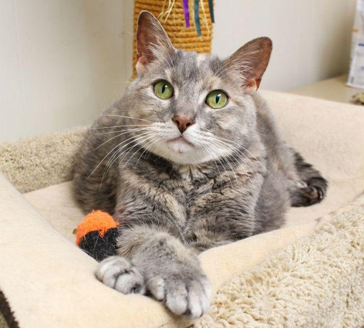 Cat For Adoption Rhema A Domestic Short Hair Dilute Tortoiseshell Mix In Harrisonburg Va Petfinder