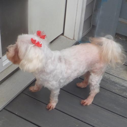Dog for adoption - ELLIE, a Maltese & Bichon Frise Mix in