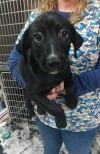 Labrador Retriever Dog: Otis