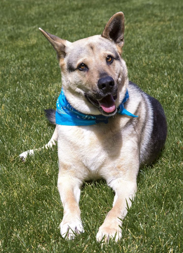 Jake, an adoptable German Shepherd Dog in Gilroy, CA