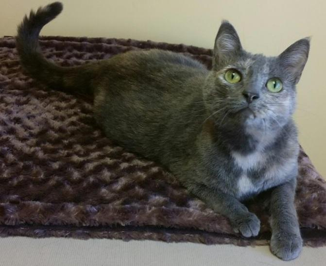 Cuddles, an adoptable Dilute Calico in Waverly, IA