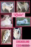 American Eskimo Dog Dog: Laila