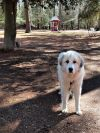 Great Pyrenees Dog: Casey