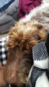 German Wirehaired Pointer Dog: BO CatsOK!