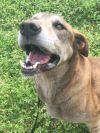 Great Dane Dog: Ben