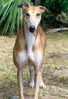 Greyhound Dog: Elaine