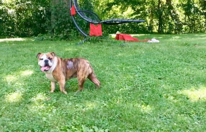 Pippin, an adoptable English Bulldog in Park Ridge, IL