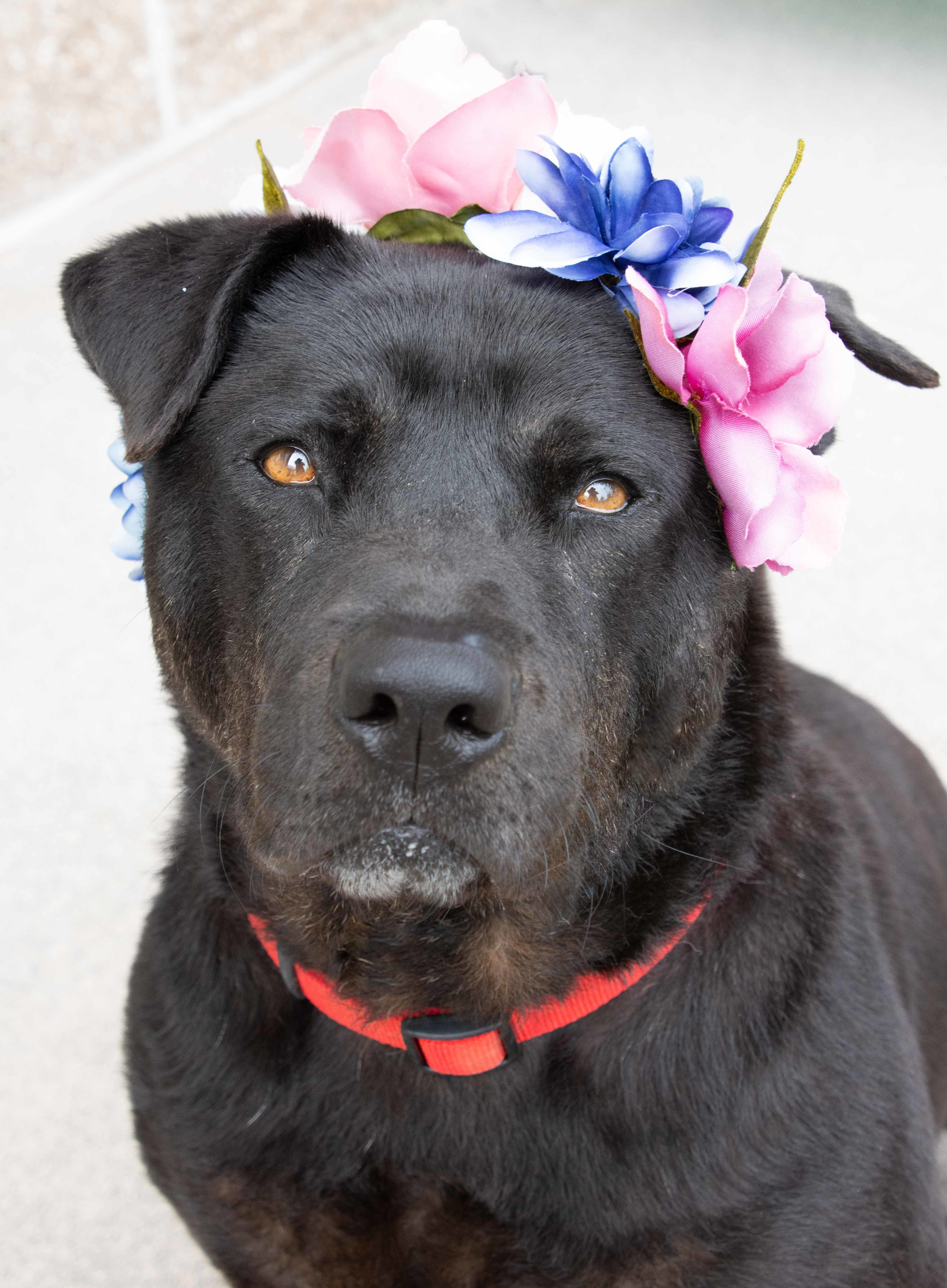 Dog For Adoption Cowboy A Chow Chow American Bulldog Mix In