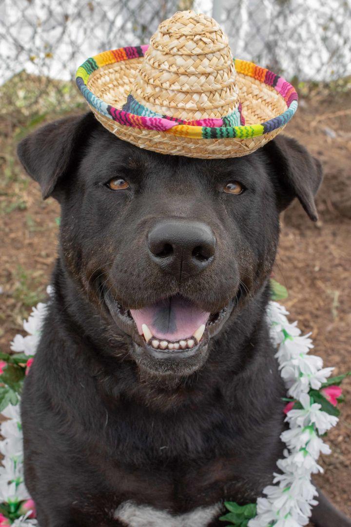 Dog For Adoption Cowboy A Chow Chow American Bulldog Mix In