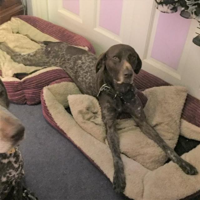 Sophie, an adopted German Shorthaired Pointer in Oak Ridge, NJ