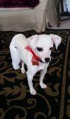 Jack Russell Terrier Dog: Chloe