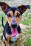 Manchester Terrier Dog: Charlie
